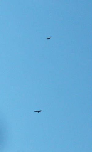TWO Eagles flying above my house