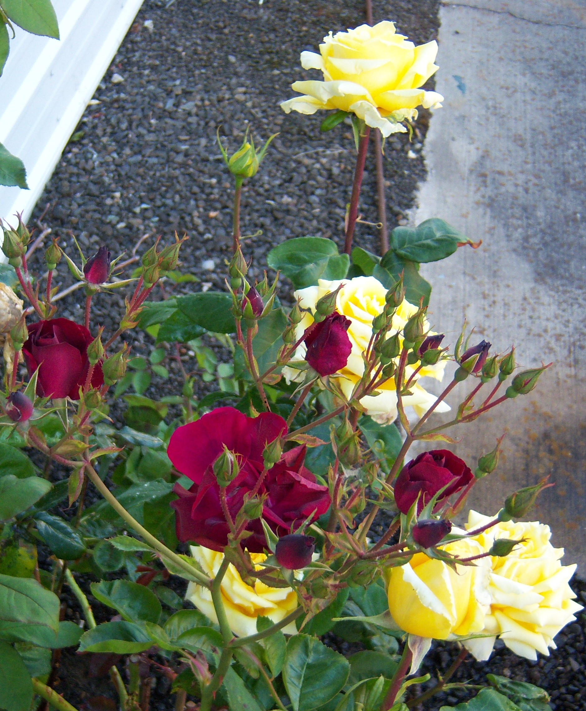 Red Roses - A Gift from EROS - 11-13-11
